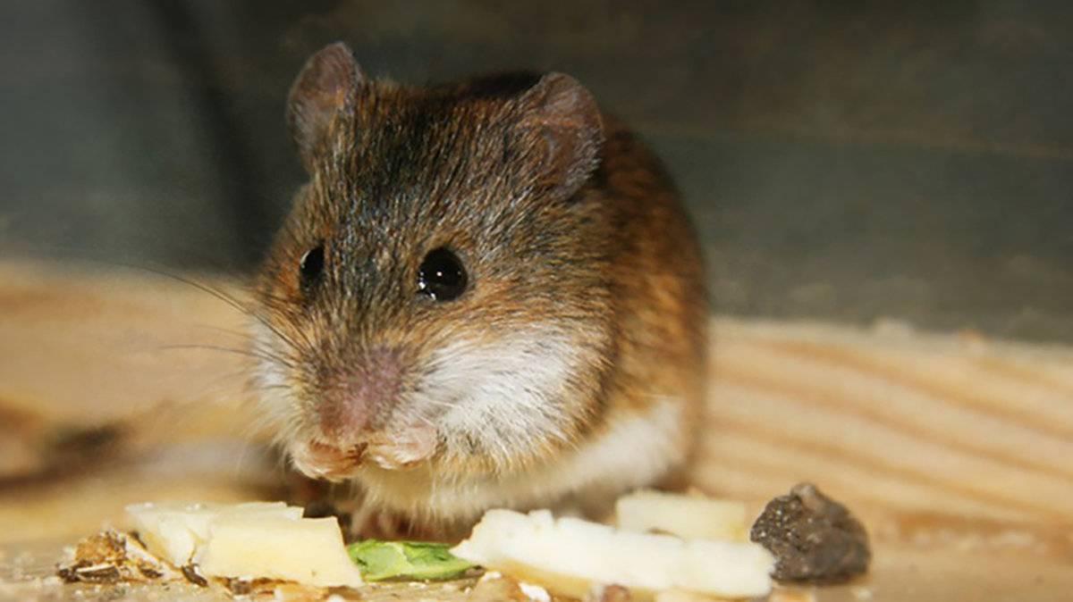 Лучшие приманки для мышей в мышеловку или на клей