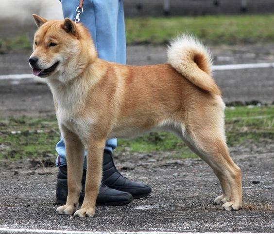 Порода собак каи - описание, характер, характеристика, фото тигровых собак кай
