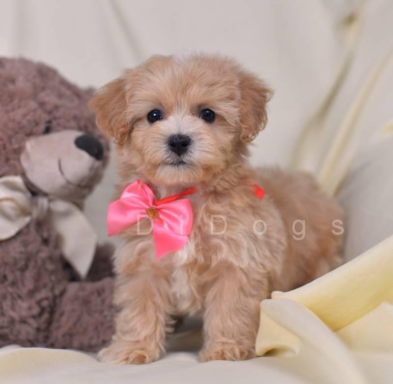 Собака породы мальтипу: описание, фото, характер, содержание, кормление, уход