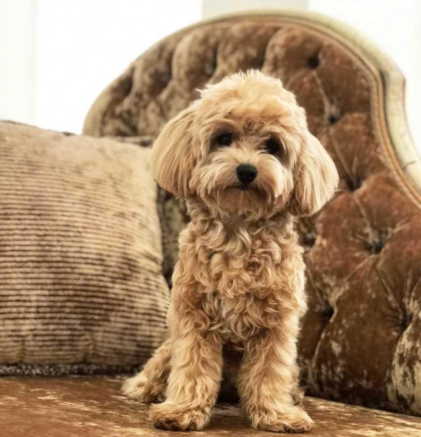 Подробное описание и характеристика породы собак мальтипу