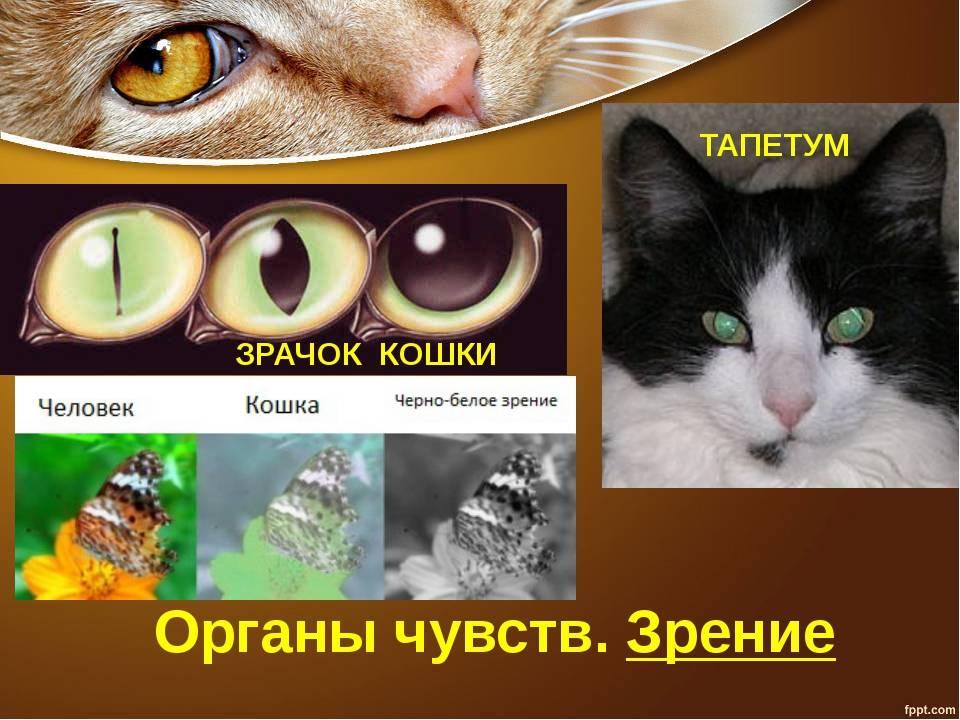 Различают ли кошки цвета и видят ли в темноте: в каком цвете видят, какие цвета различают