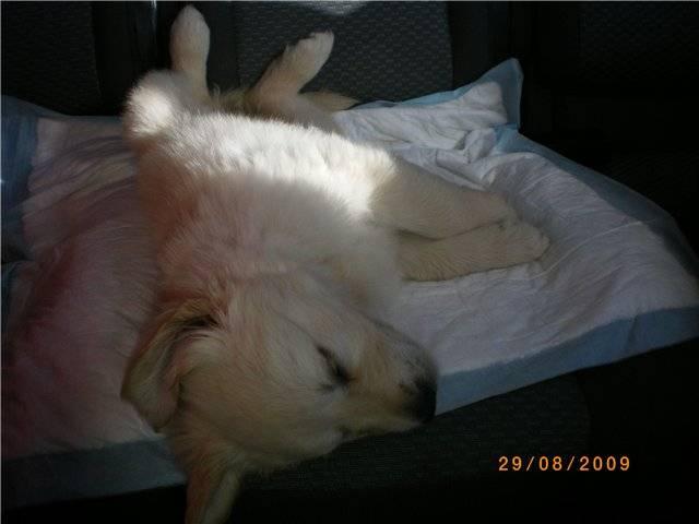 Как приучить щенка оставаться одному в квартире: методы и средства