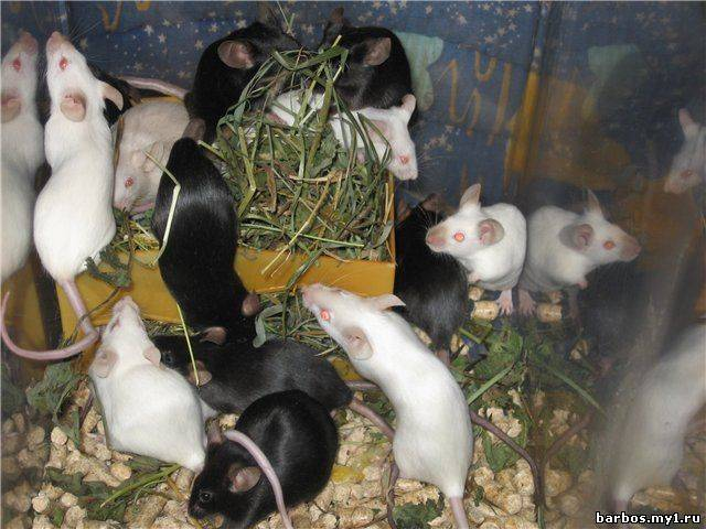 Мышь полевка