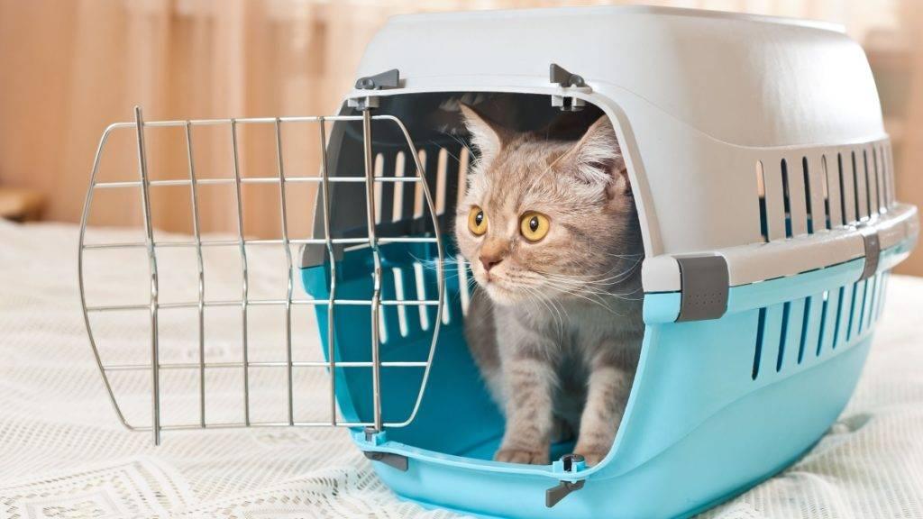 Как перевозить кота в машине: как подготовить, правила