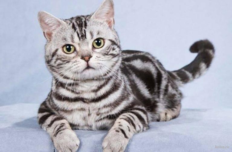 Американские короткошерстные кошки: ? описание породы, характер, здоровье