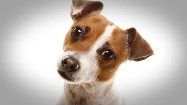 Почему собаки наклоняют голову? забавные факты о поведении домашних любимцев