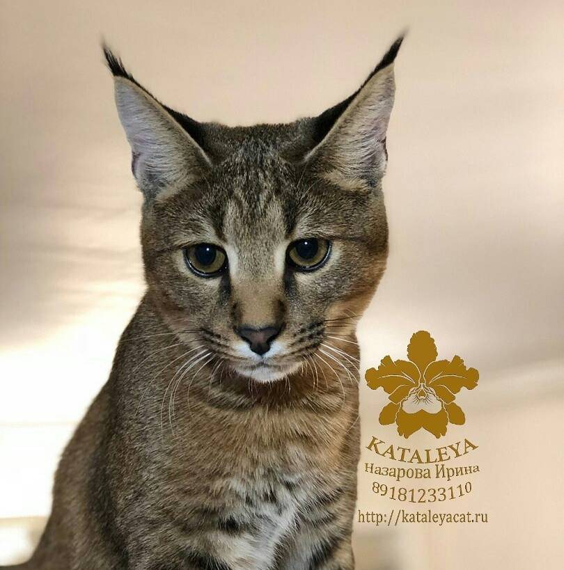 Каракет (порода кошек) — википедия