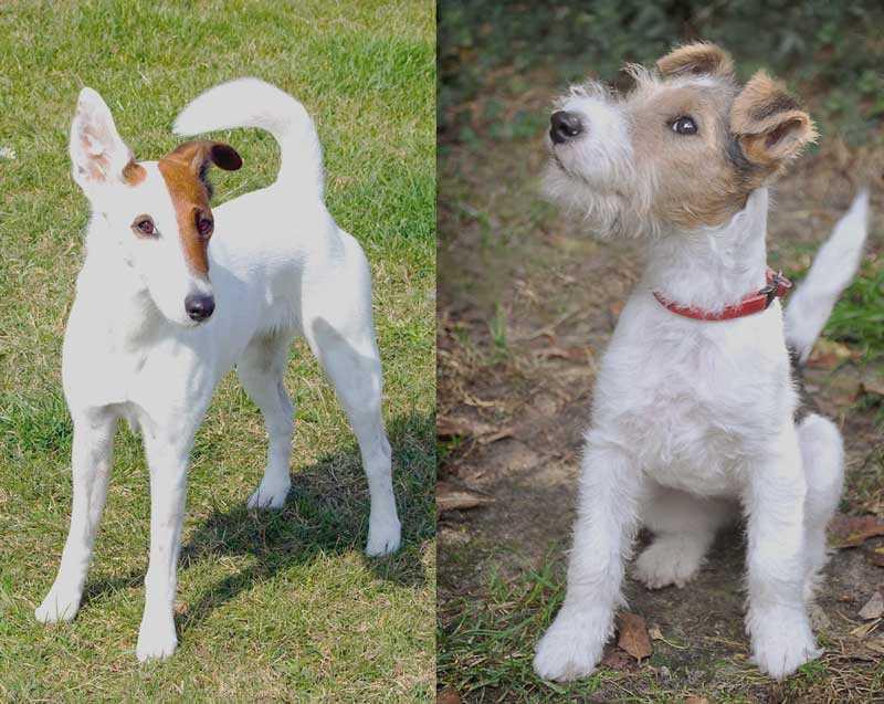 Той-фокстерьер: описание породы с фото, особенности ухода за собакой
