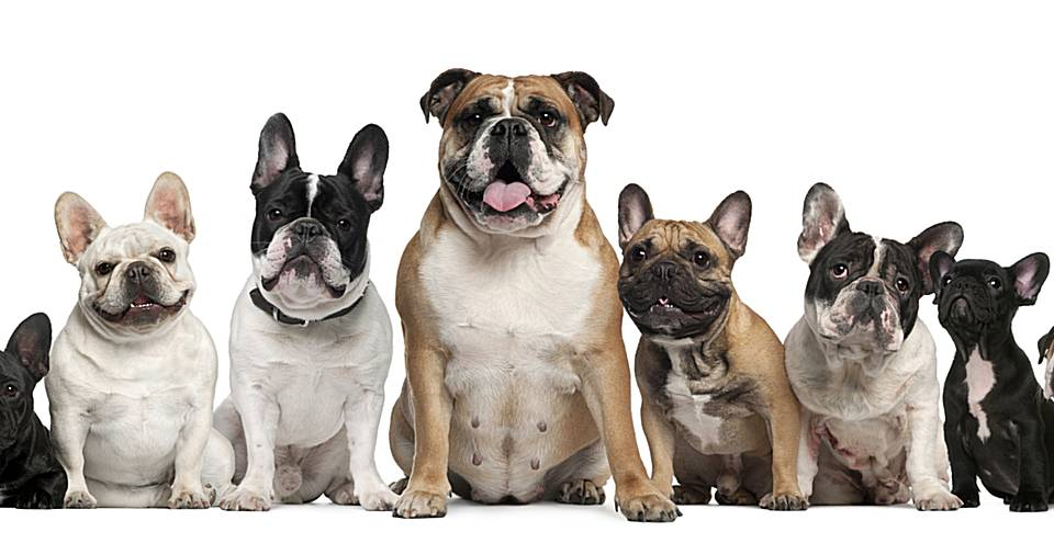 Окрасы французских бульдогов: виды и расцветки, их описание и фото собак + возрастные изменения у щенков
