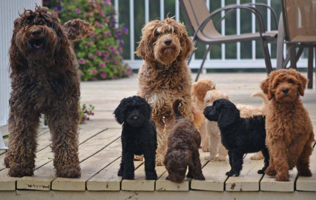 Кудряшки сью: 11 кучерявых пород собак