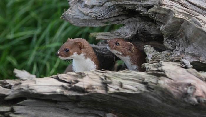 Где живет ласка на даче. животное ласка: описание и повадки. где живет и чем питается ласка. места обитания ласки