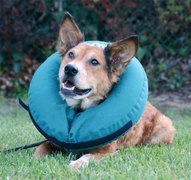 Воротник для собаки своими руками — защитный и послеоперационный