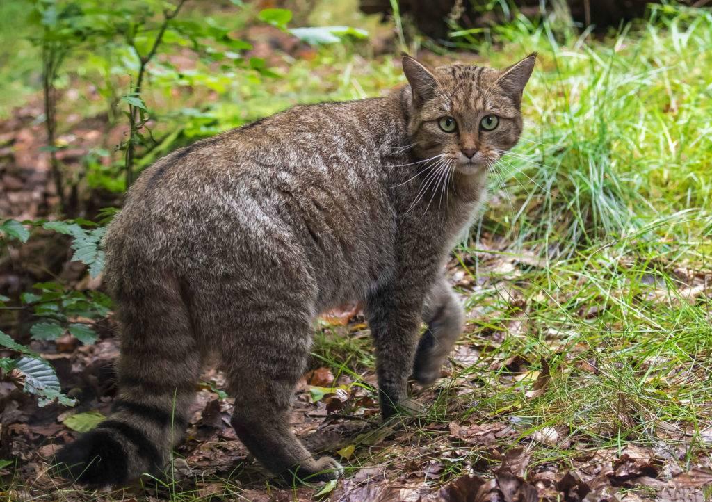 Амурский лесной кот (дальневосточный): среда обитания, питание, фото
