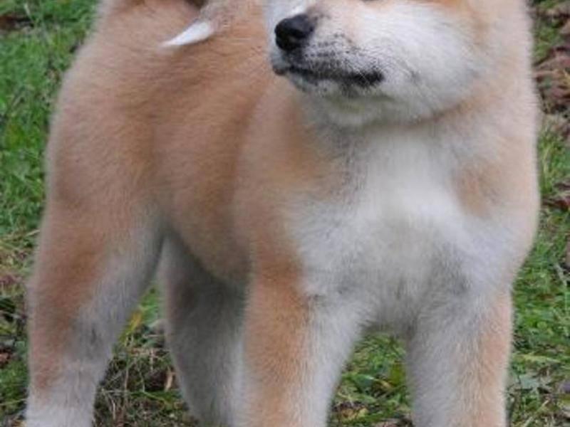 Порода хатико: описание породы собаки из фильма и особенности ухода за ней