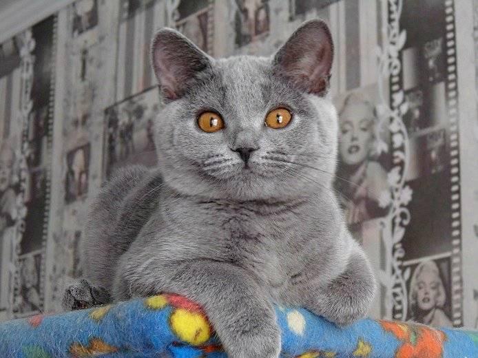 Идеи, как назвать британскую кошку: лучшие клички для мальчиков и девочек