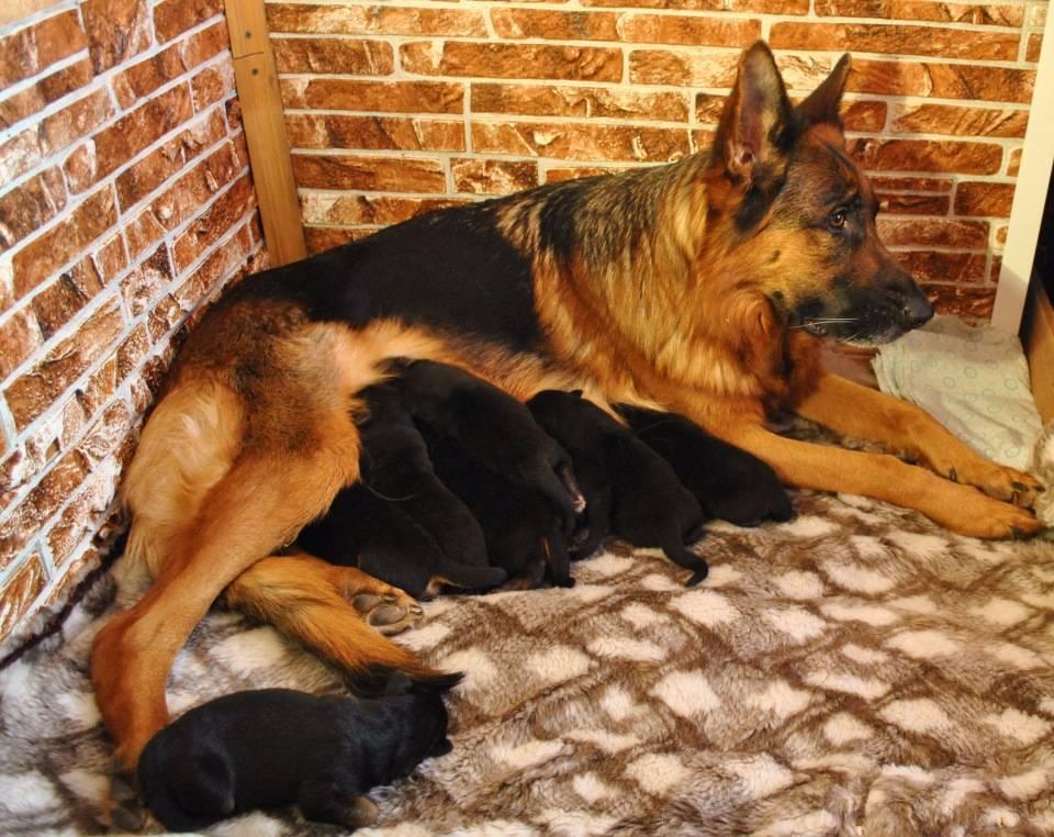Сколько длится беременность у собак немецкой овчарки - как определить, календарь по дням и месяцам, первая и ложная беременность
