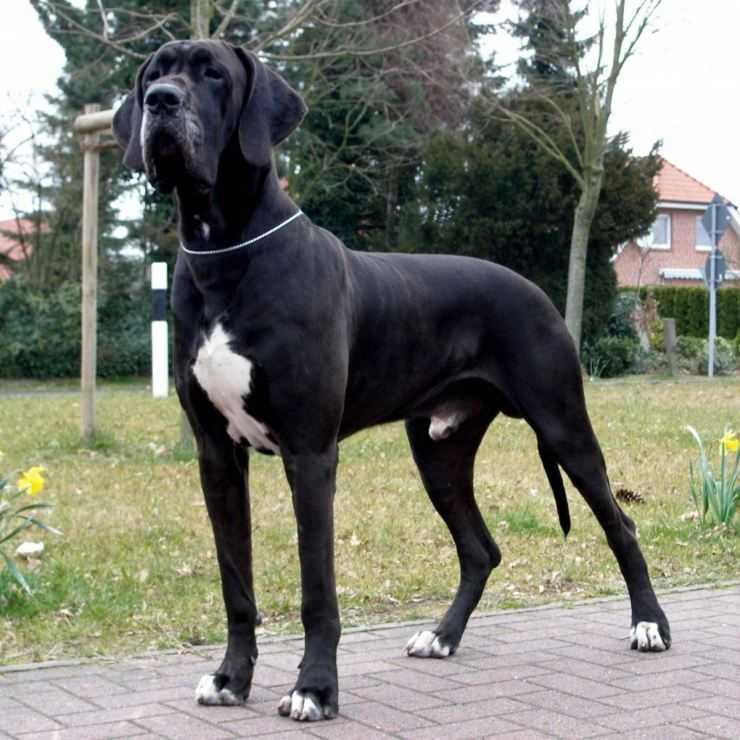 Канарский дог (канарский дог, канарский мастиф, канарская собака)