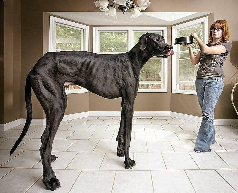 Собака-компаньон (43 фото): список лучших средних, крупных и маленьких пород для квартиры, пожилых людей и детей