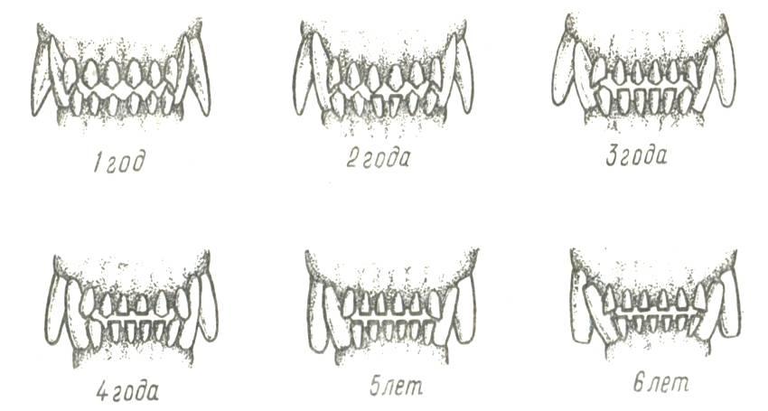 Как определить возраст собак алабая. как определить возраст собаки по зубам за пять минут. основной метод определения возраста собаки
