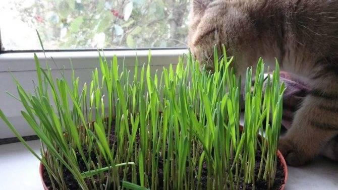 Зачем кошка ест траву – болен кот