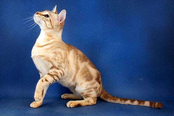 Австралийский мист или дымчатая кошка: история породы
