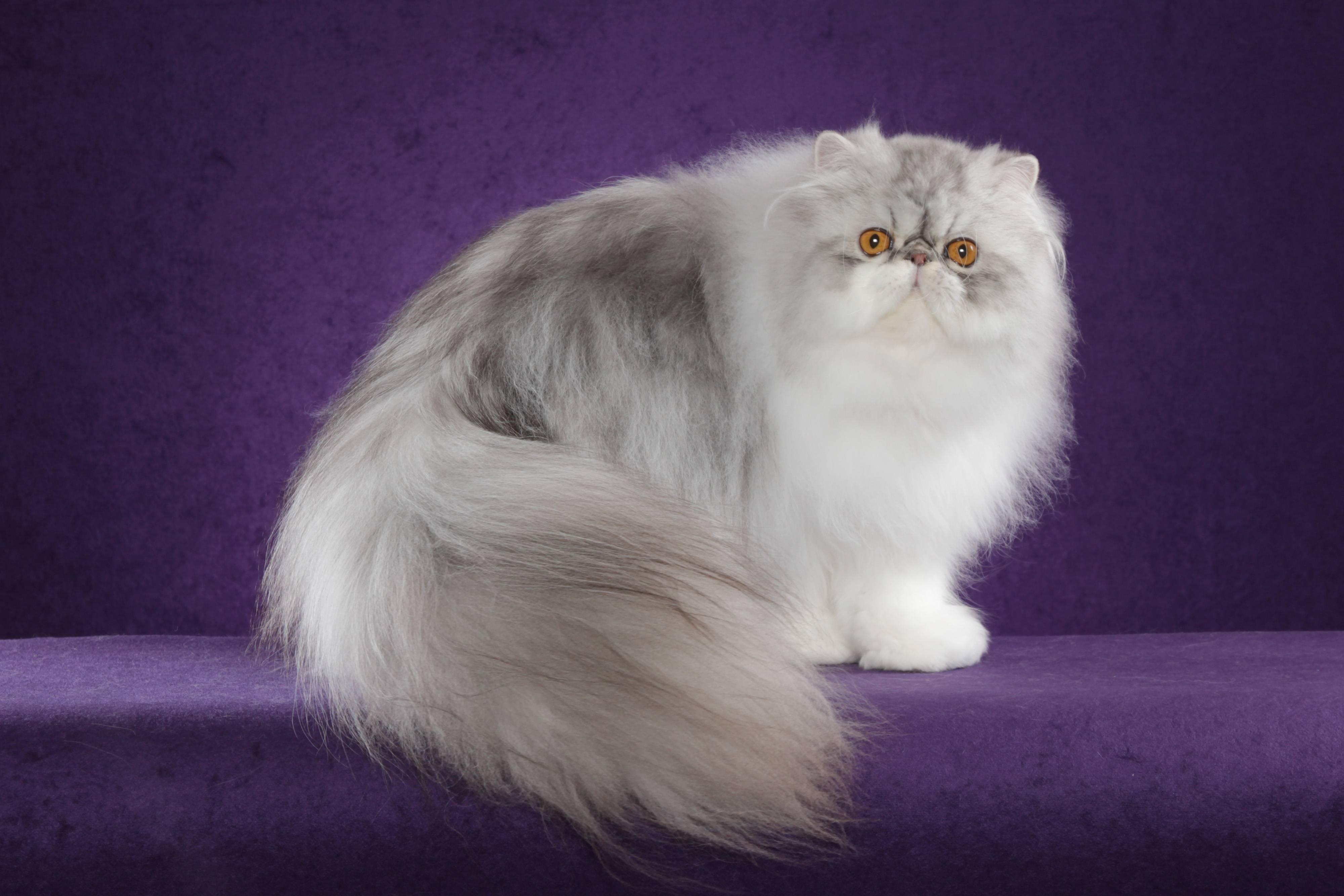 Длинношерстные кошки и их особенности: породы, происхождение и рекомендации по содержанию