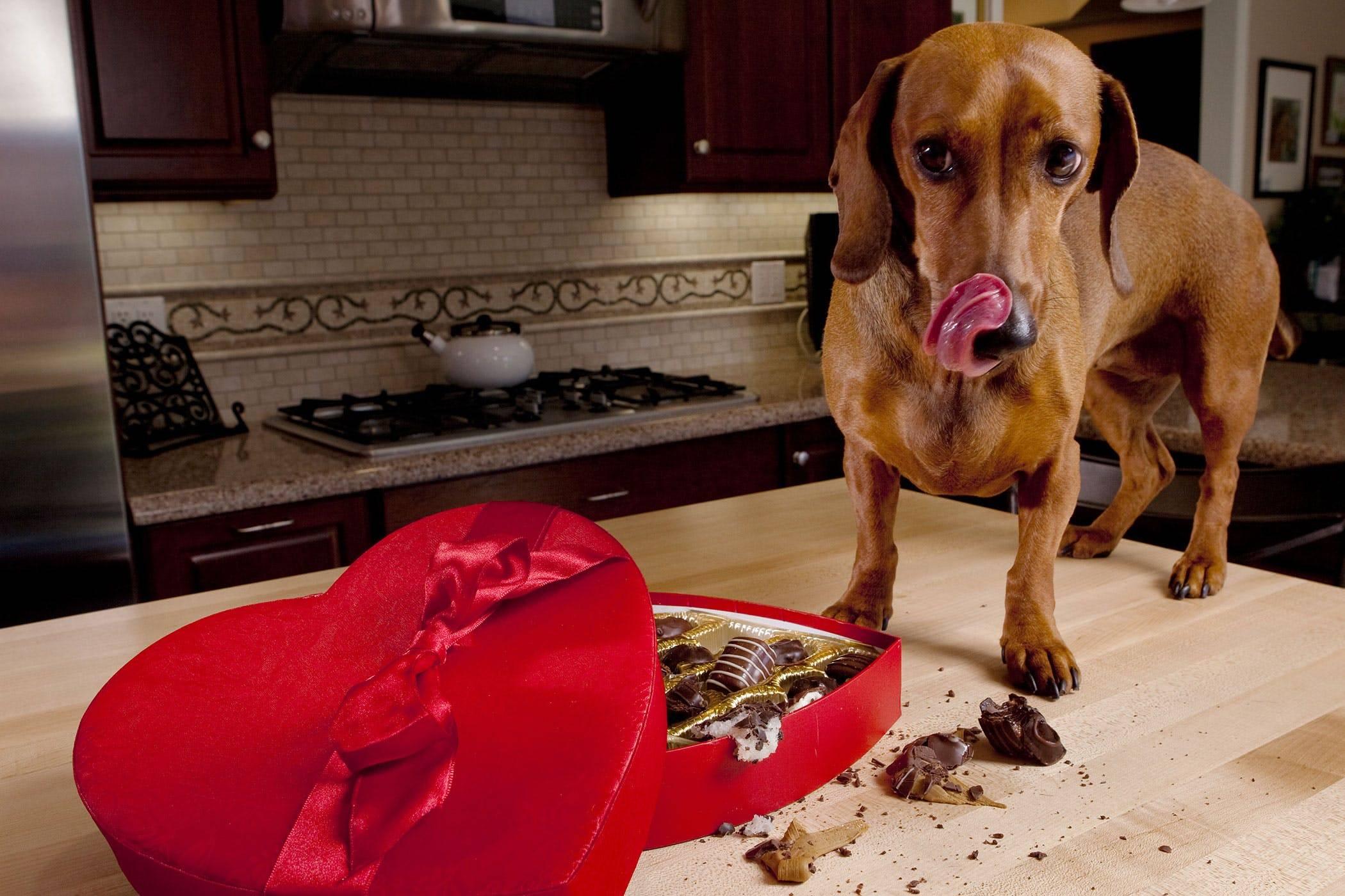 Отравление шоколадом у собак - симптомы, первая помощь и лечение - petstime.ru