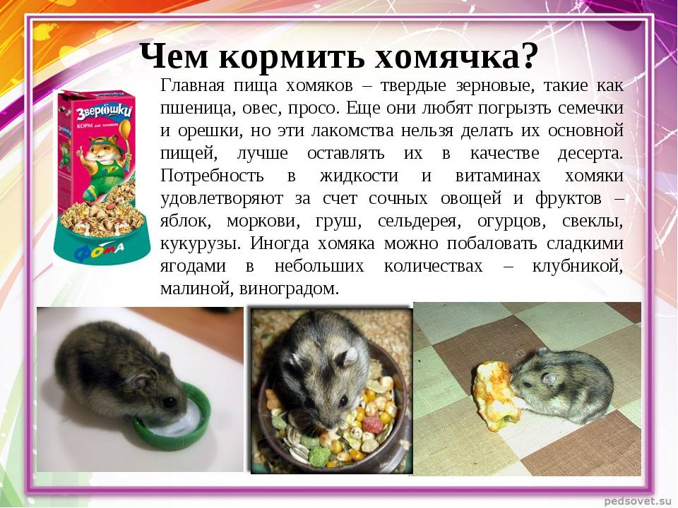 Чем кормить джунгариков? - люблю хомяков
