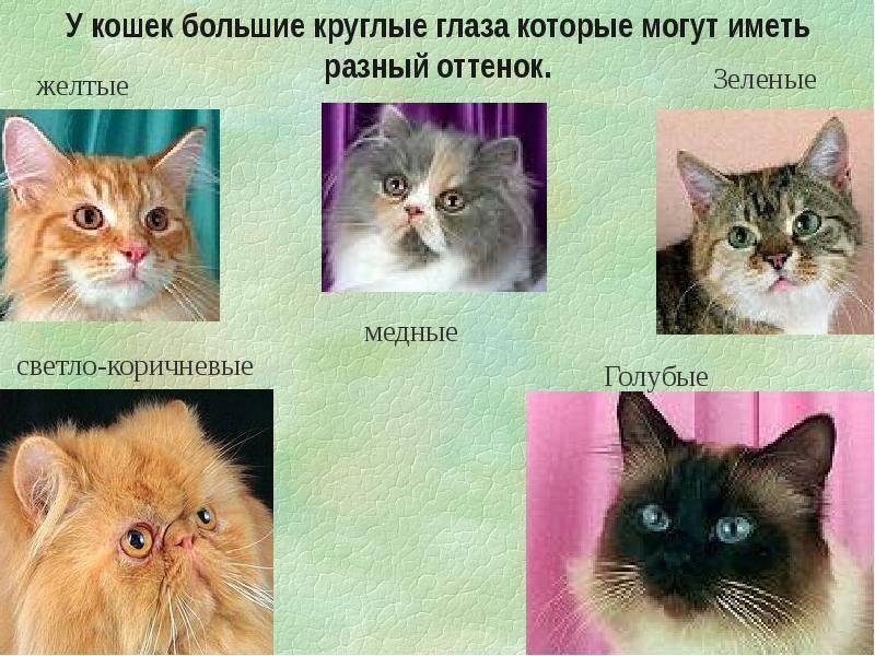 Топ-12 пород кошек с черно-белым окрасом