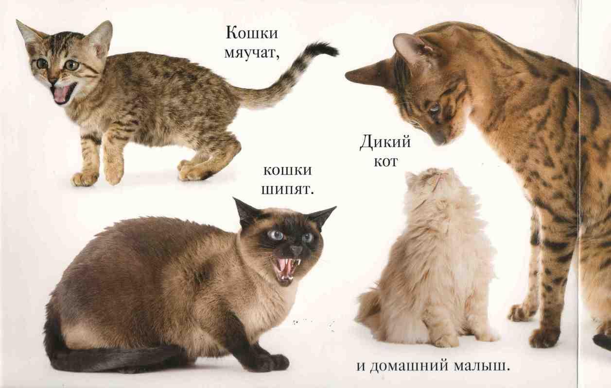 Почему кошка рычит и шипит