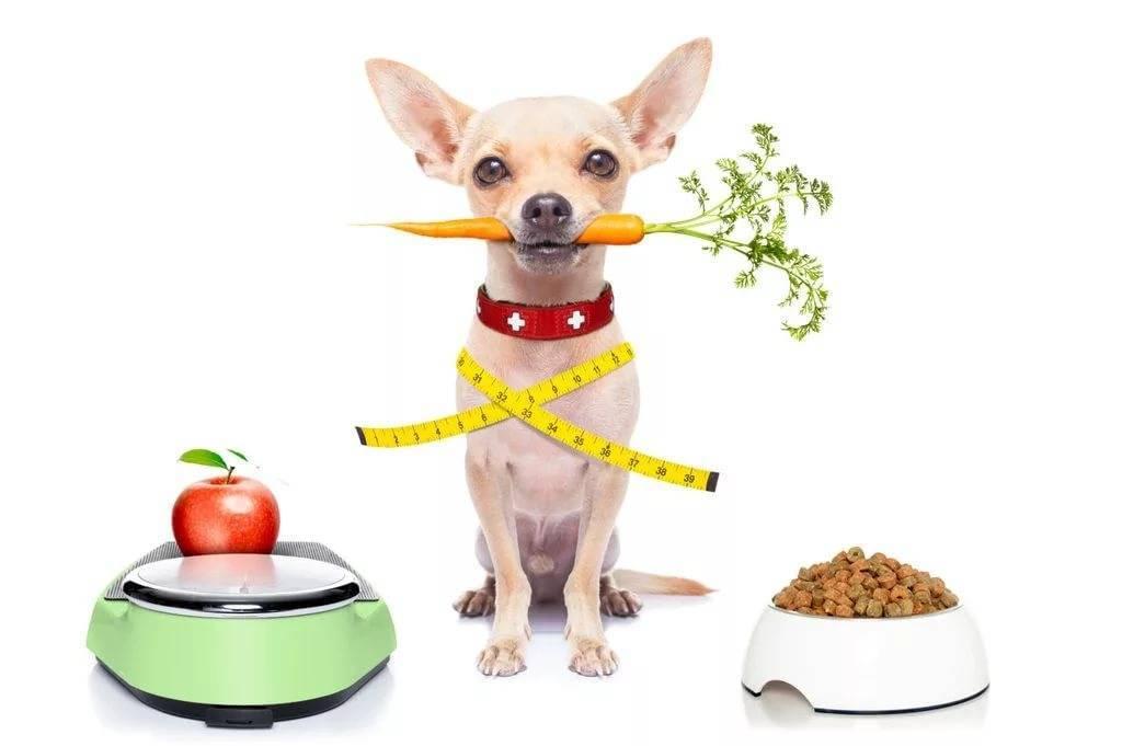 Чем кормить чихуахуа в домашних условиях: питание и кормление щенков