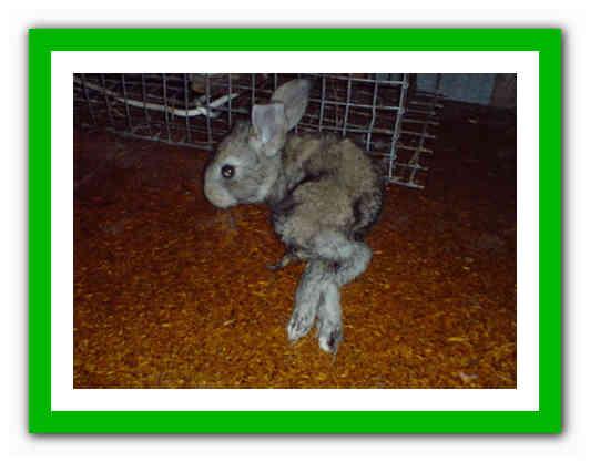 Понос у кроликов: причина, лечение и профилактика
