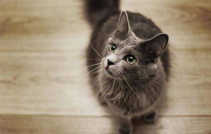 Русская голубая кошка: фото, цена котенка, характер и описание породы