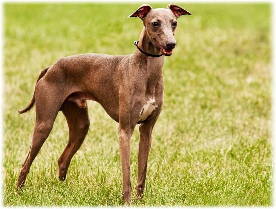 Описание породы собак левреток: особенности внешности итальянской борзой