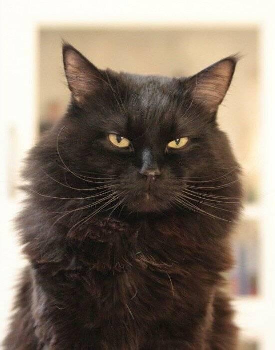 Топ 10 лучших пород кошек для квартиры и дома