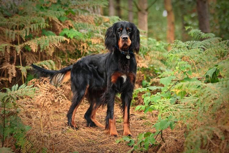 Шотландский сеттер гордон — описание и характеристика породы