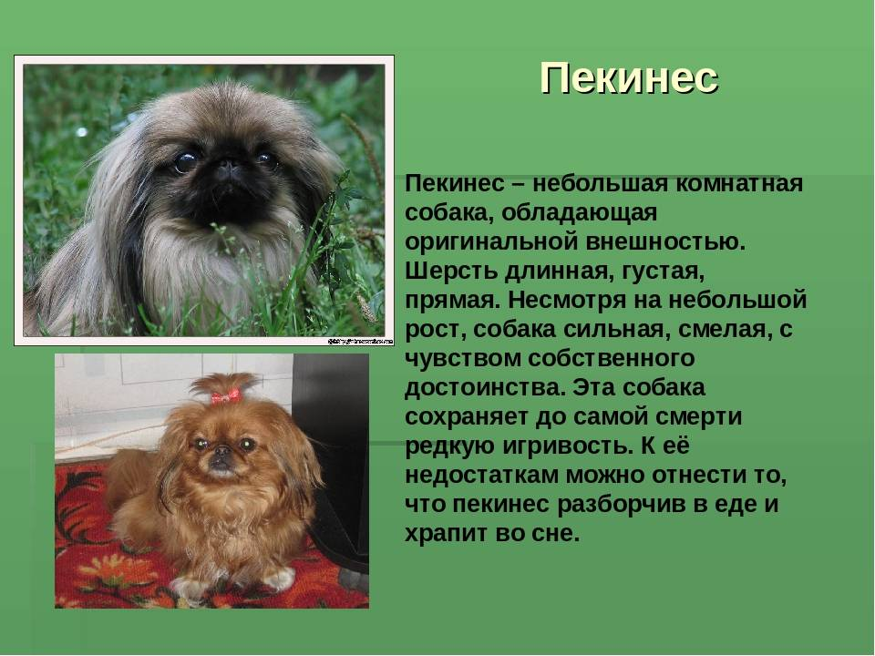 Пекинес – декоративная порода: внешний вид собаки, характер и поведение, условия содержания, правила ухода