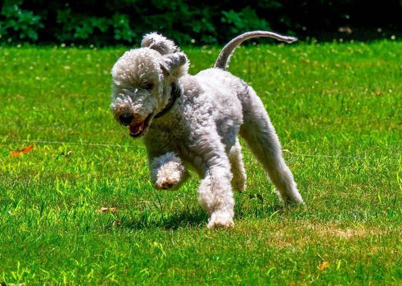 Бедлингтон терьер собака. описание, особенности, уход и цена бедлингтон терьера