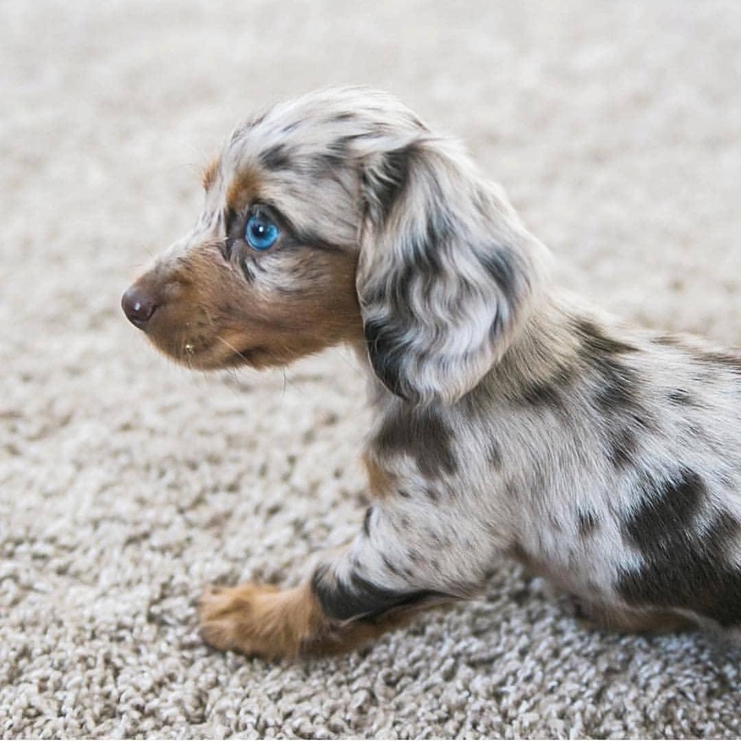 Породы собак с голубыми глазами