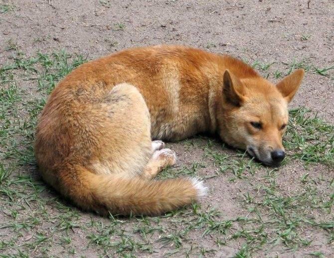 Порода домашних собак динго