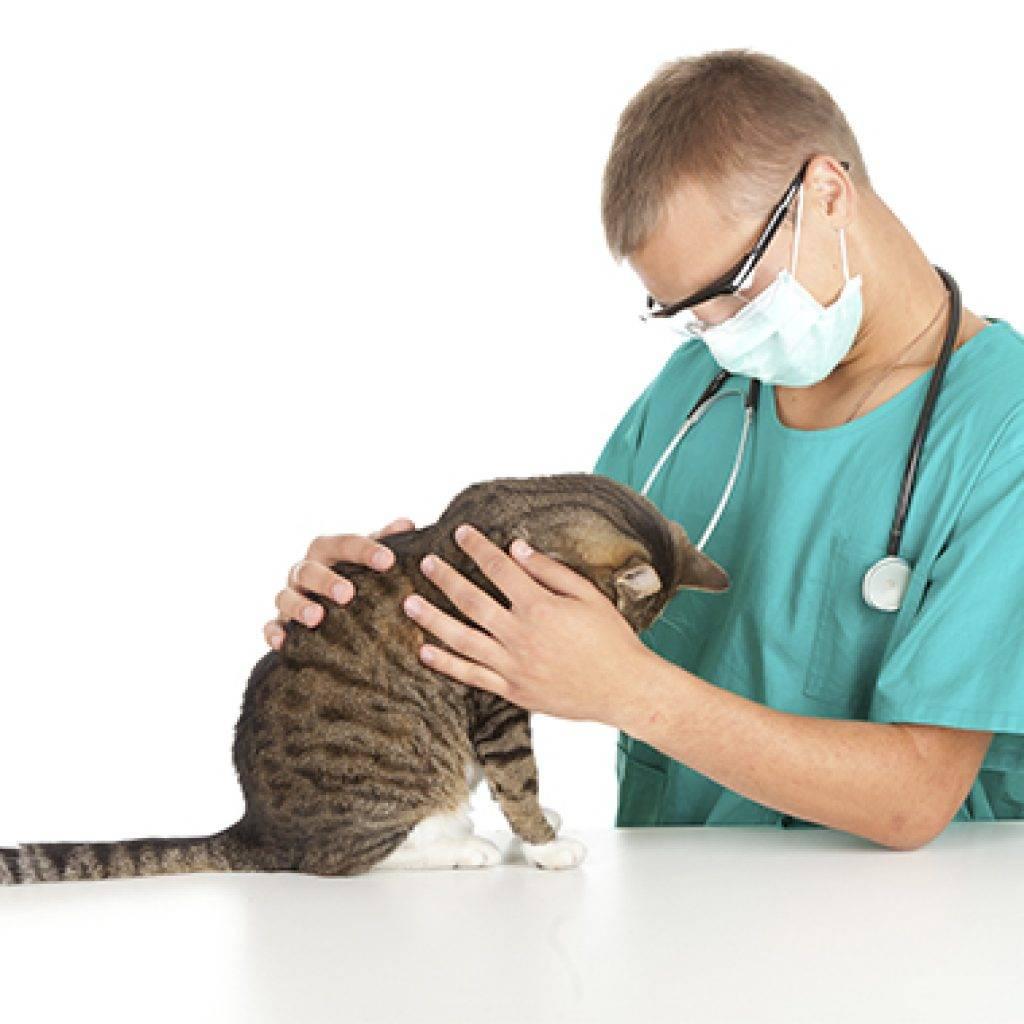 Эпилепсия у кошек - формы протекания и методы лечения