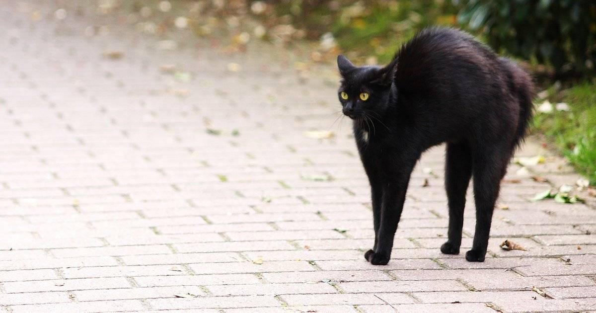 Почему так много примет о черных котах