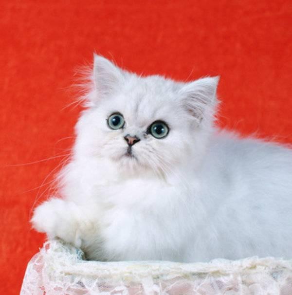Персидская шиншилла: описание и характеристика кошек, особенности содержания