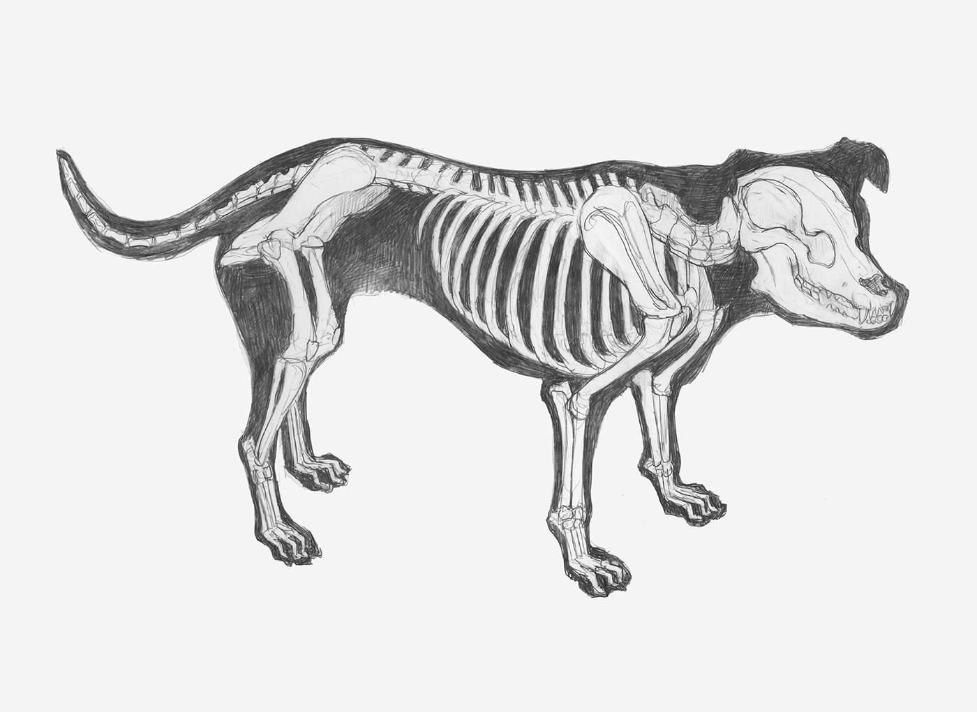 Анатомия собаки: внешнее и внутреннее строение тела собачьего тела