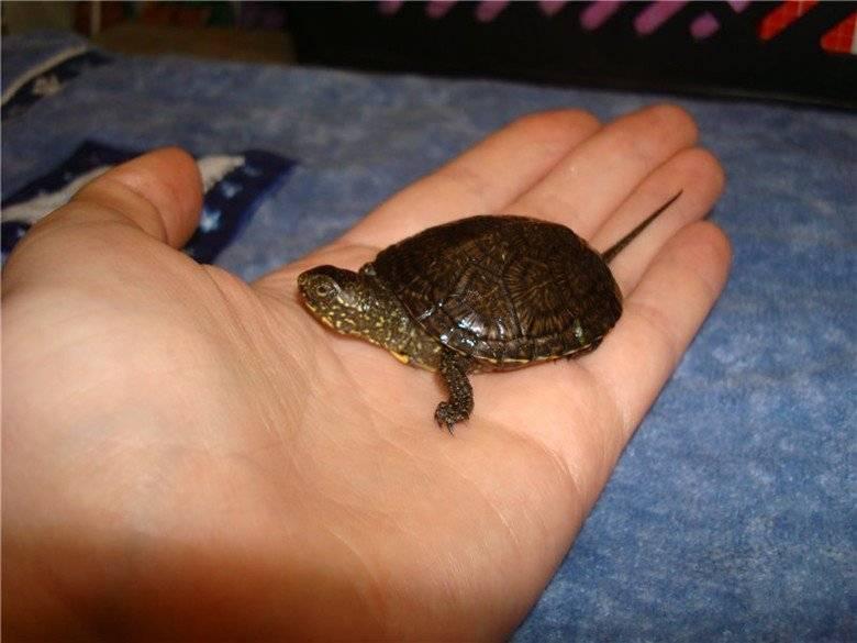 Что едят черепахи в домашних условиях: болотные, морские, сухопутные и другие