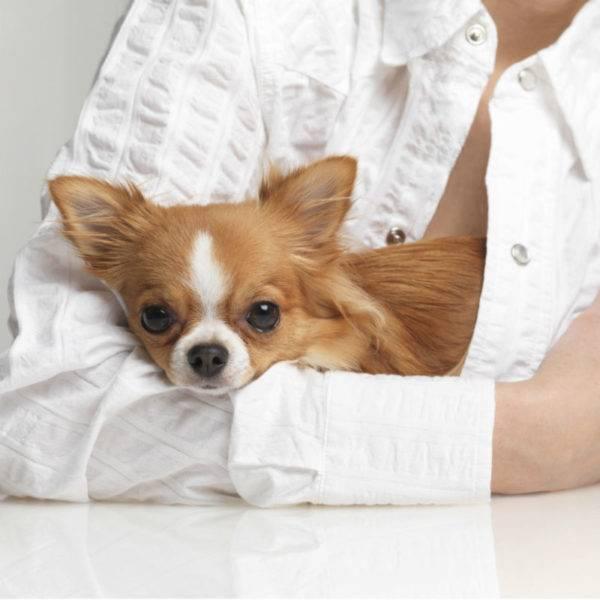 Гипоаллергенные породы собак: выбор животного