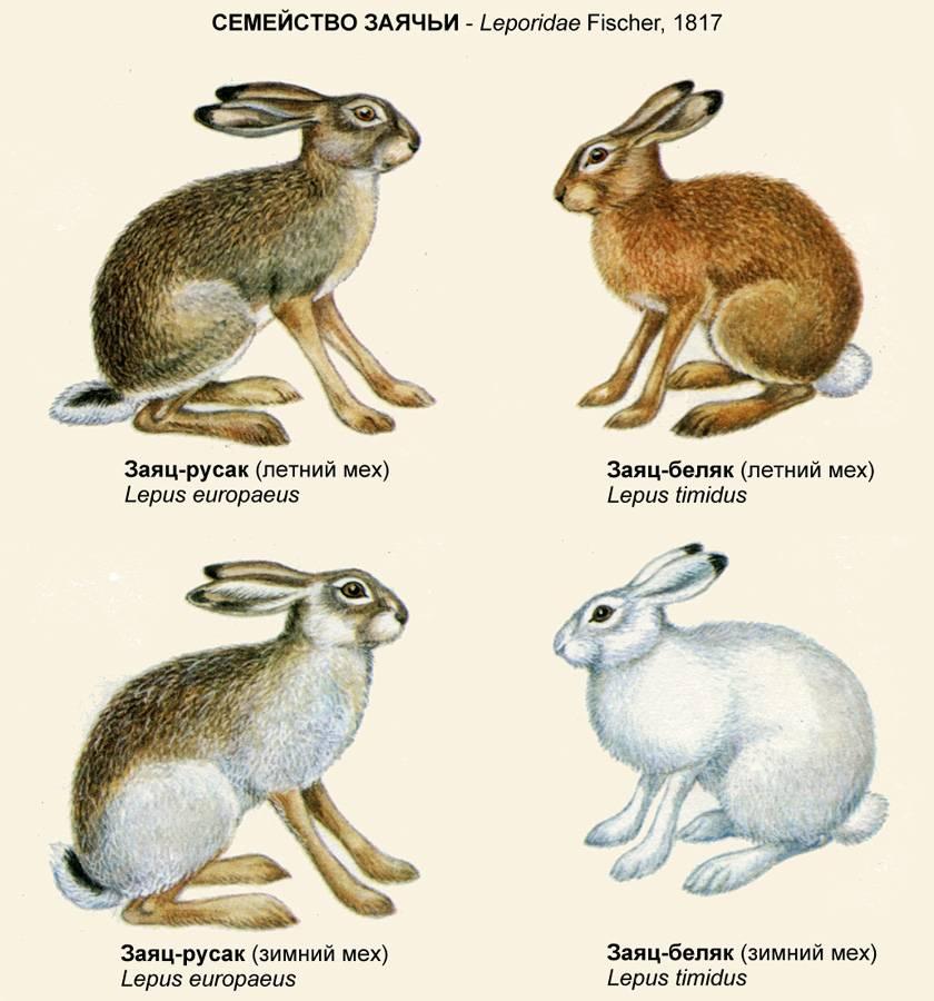 Внешность и характеристики калифорнийских кроликов: как содержать породу