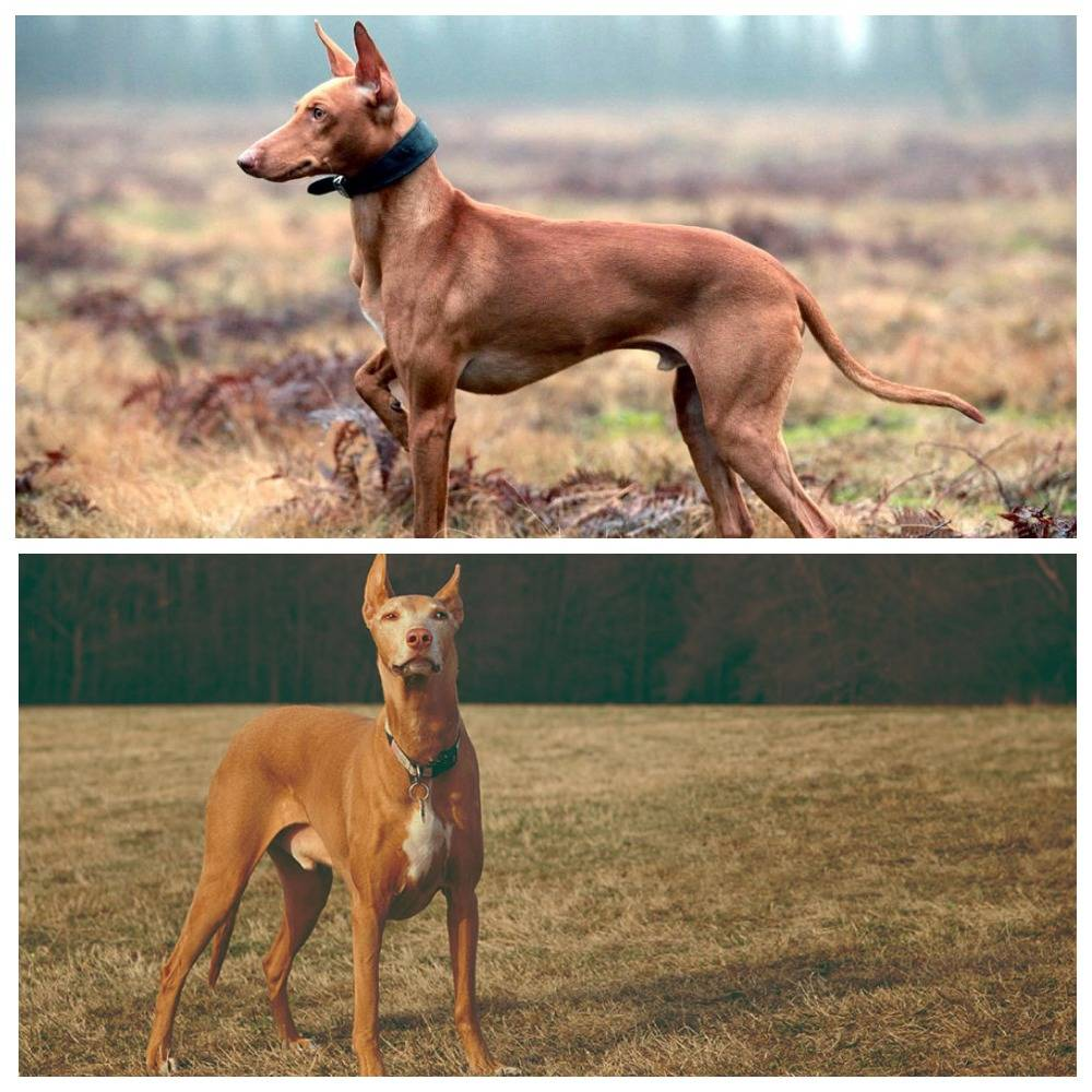 Фараонова собака: фото, описание породы, стандарты, характер собаки и отзывы собаководов