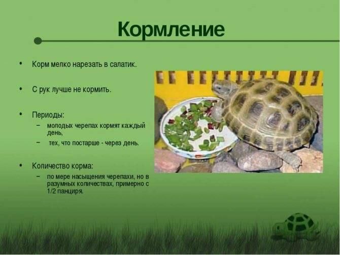 Красноухая черепаха: как ухаживать и чем кормить в домашних условиях?