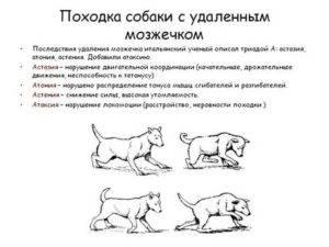 Мозжечковая атаксия у кошек: причины, симптомы, лечение, восстановительный период и советы ветеринаров. атаксия у кошек - новая медицина